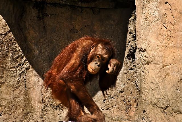 Orangutans are my favorite!
