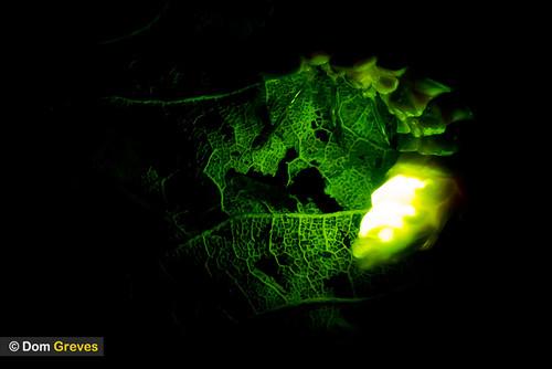 Glow Worm Limelight