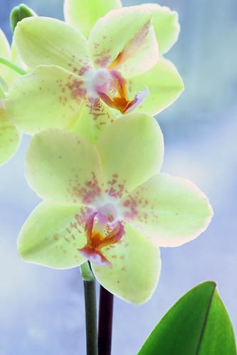 Phalaenopsis hybrid by marguffa!