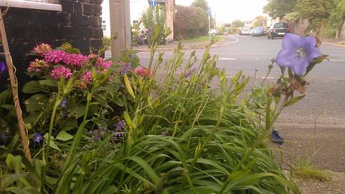 Daylily 'Hemerocallis Bonanza' and Hydrangea