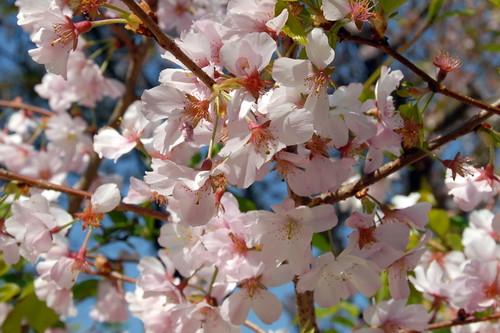Arbres en fleurs HD-004