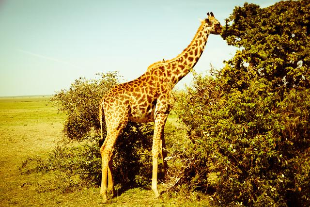 Giraffes (10)