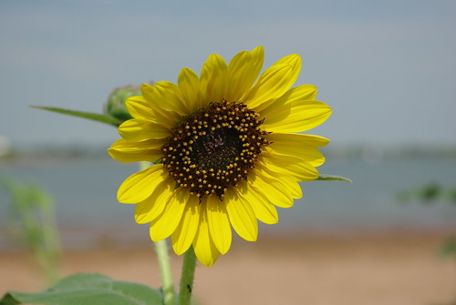 sunflower at the lake