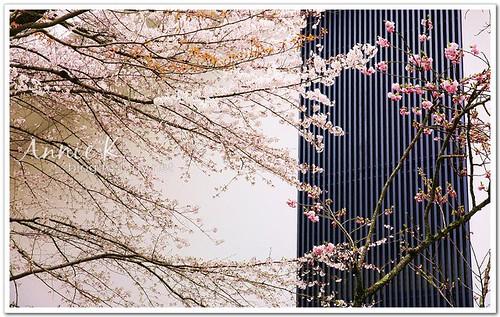 2櫻京阪_醍醐寺