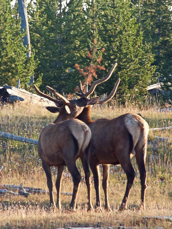 Sweet Elk couple, Yellowstone National Park