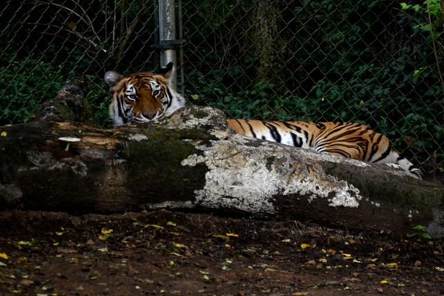 Peeking Bengal Tiger