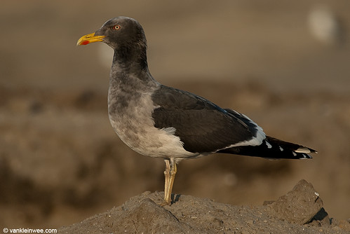 Lesser Black-backed Gull (L.f. graellsii), dirty plumage