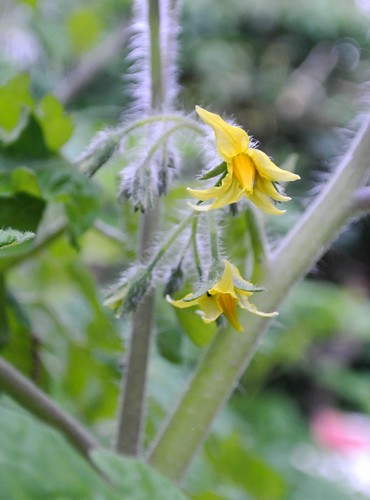 Tomato Flowers - 24th June 2012 - Day 25