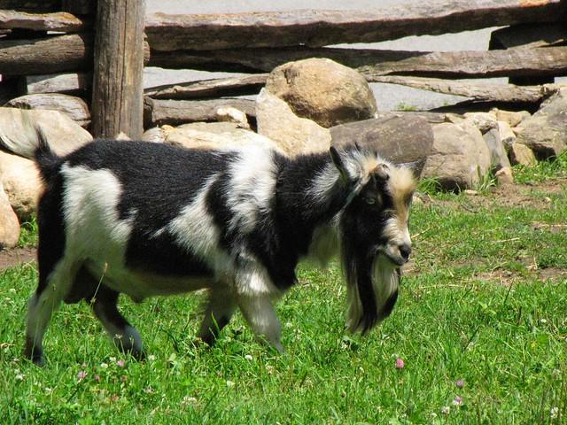 Grandpa Goat