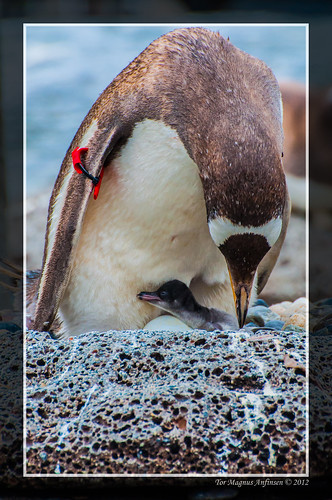Penguin mom and baby at the aquarium in Bergen by Tor Magnus Anfinsen