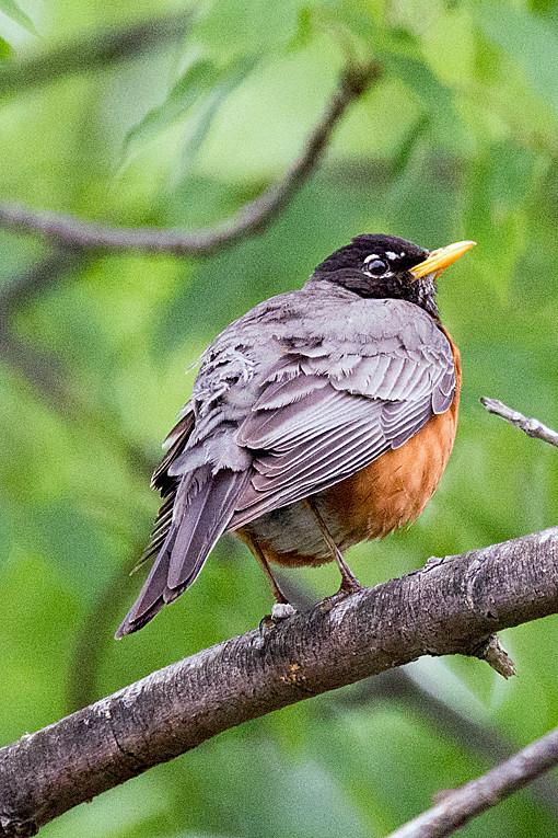 _DSC0334 American Robin