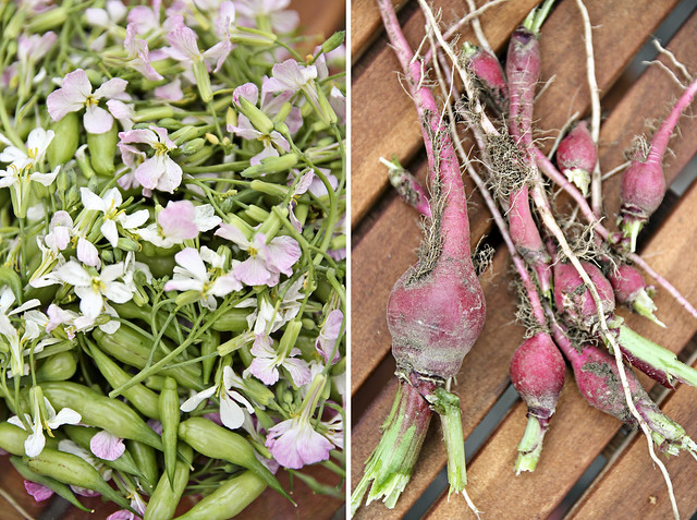 radish pods, flowers and roots