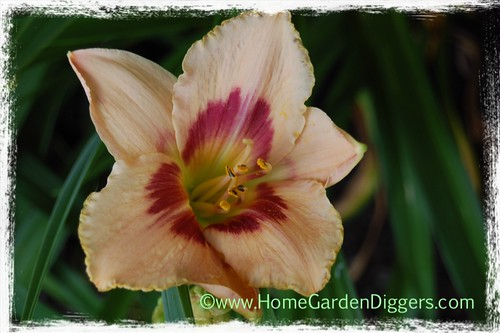 Pink Daylily With Red throat