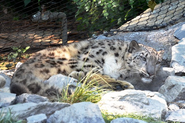 Disturbed Snow Leopard