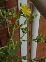 flor de lechuga hoja de roble