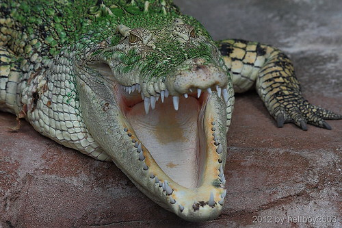 Leistenkrokodil (Crocodylus porosus) by hellboy2503