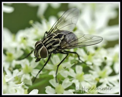 Muscid Fly (Graphomya maculata)