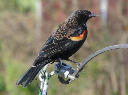Red-winged Blackbird taken with a Canon SX50 HS IMG_4829