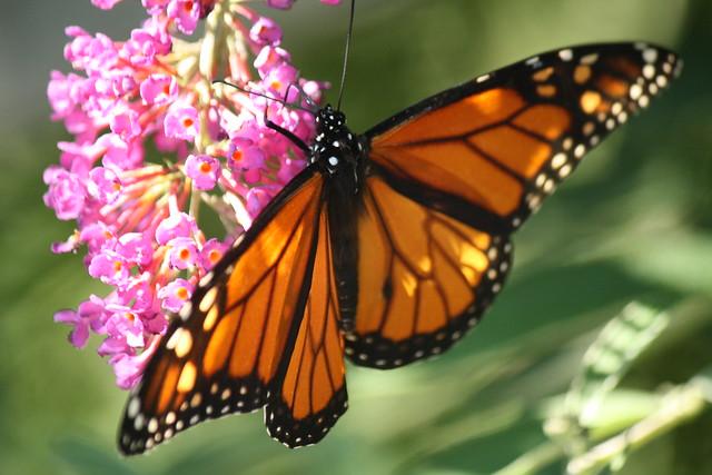King of butterflies