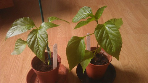 Two Pepper (Sweet) 'Friggitello' plants grown from seed.