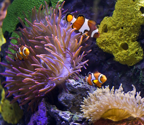 clownfish at the aquarium of the Americas ~ explore