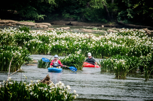 Lansford Canal Spider Lilies-48