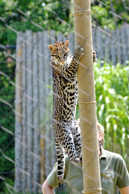 Sihil the Ocelot