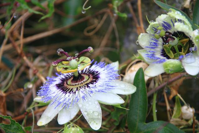 Pasionaria, Flor de la pasión, Pasionaria azul  #Photography #Flickr #Foto  150
