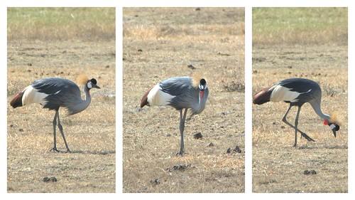 crown heron