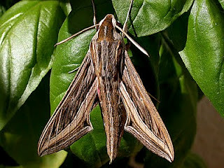 1993-silver-striped-hawk-moth-hippotion-celerio-lagos