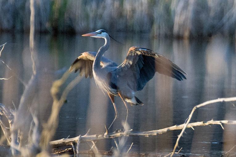 _DSC8109 Great Blue Heron