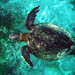 Pacific green sea turtle.