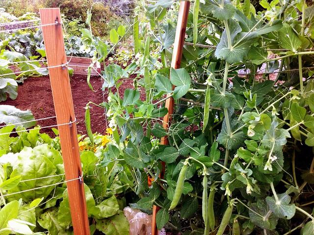 Plot pea plants