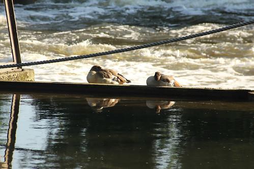 Ducks on Bell Weir, Thames