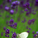 In the lavender fields 2