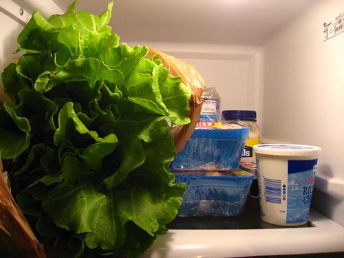 Massive Lettuce!