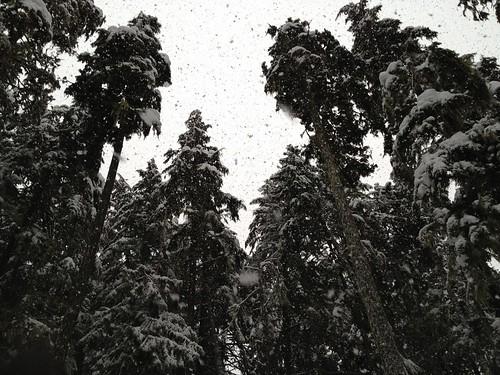 Snow through the tall Evergreens by DRheins