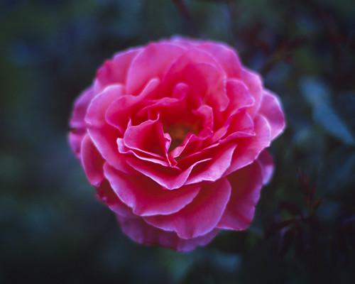 Rose Garden Rose I