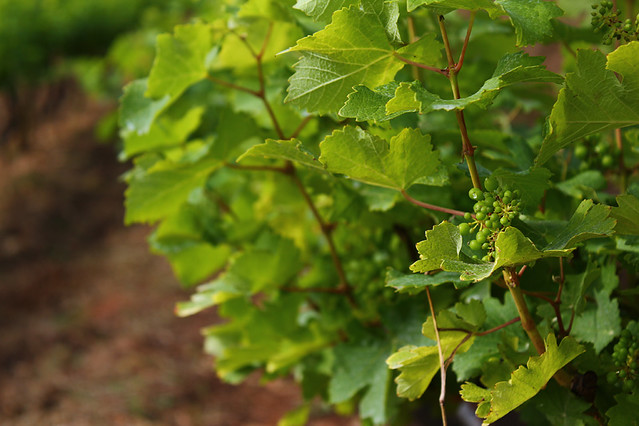 A vineyard near Nyaungshwe