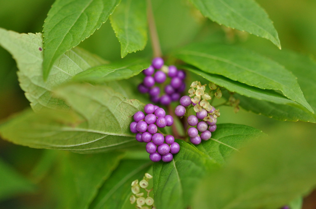 beautyberry4