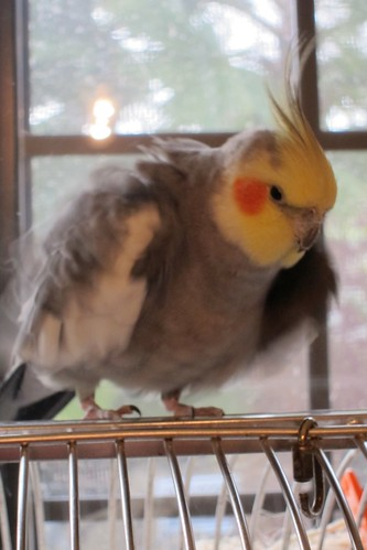 cockatiel Fluffing Feathers