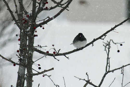 01/13/12 - Dark Eyed Junco