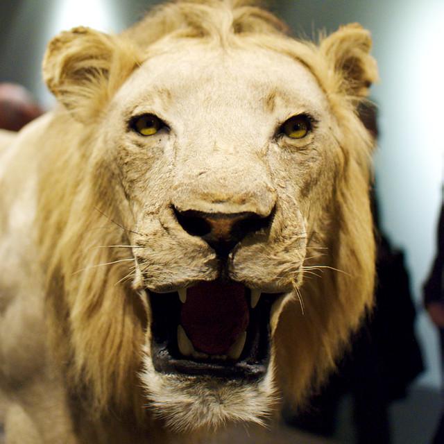 ausgestopfter Löwe im MHM