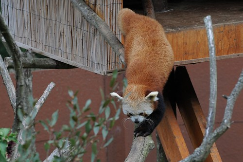 Roter Panda Geordy im Zoo de Trégomeur