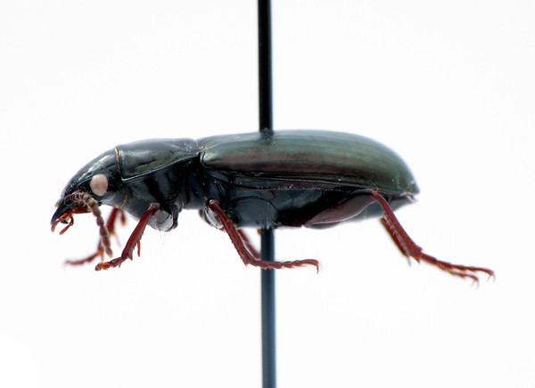 Pterostichus (Stereocerus) haematopus - black/metallic version - lateral