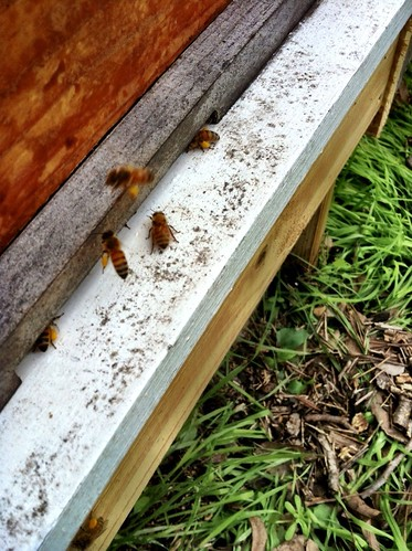 Backyard bees with pollen