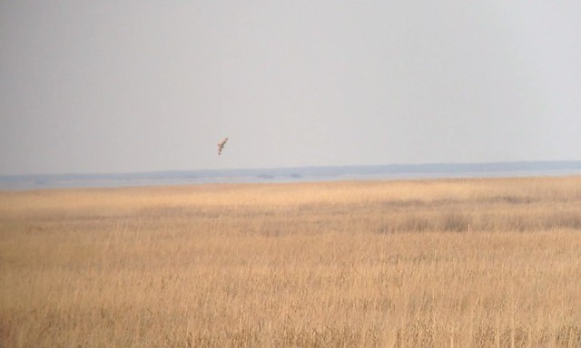 74. Short-eared Owl - Delaware - IMG_4103