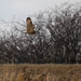 Short-Eared Owl on the Hunt