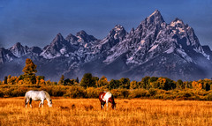 Horses grazing at the Tetons
