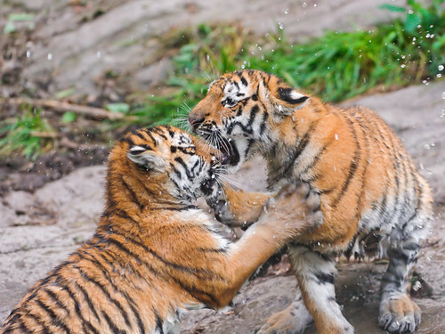 Two cubs fighting